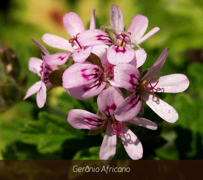 geranium-oil-acne-awesome-famous-brand-oroaroma-natural-geranium-oil-remove-relieve-pain-acne-of-geranium-oil-acne-1.jpg